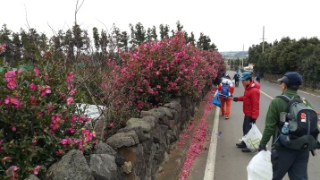 2016-01-Jeju-Olle-Trail-Clean Olle-Route11-Winter Camelias